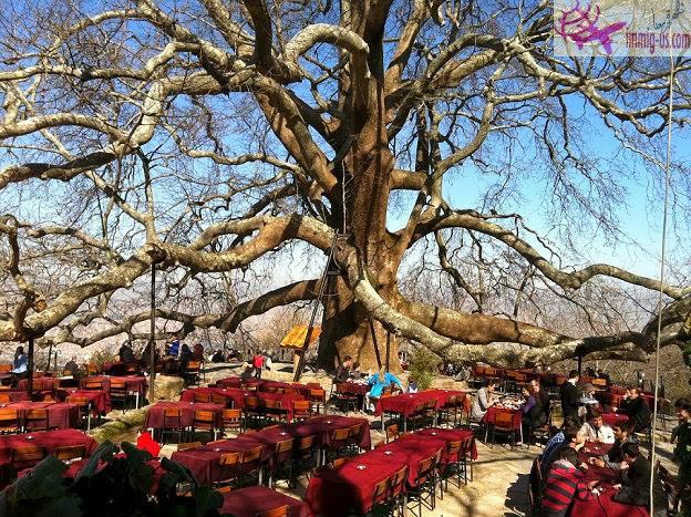 الشجرة التاريخية العملاقة