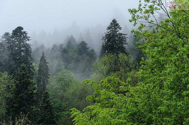 أشجار الغابة السوداء