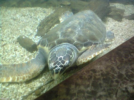 احد ازواحف الناردة فى متحف الأحياء المائية