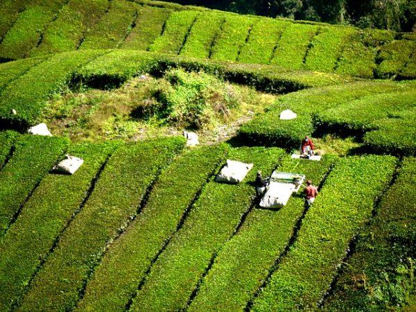 حقول الشاي في كاميرون